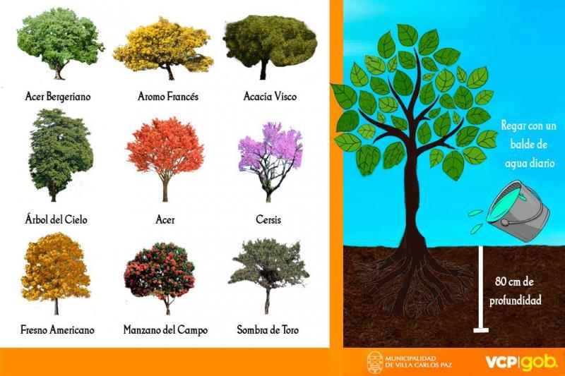 Municipalidad de villa carlos paz for Arboles de hojas perennes para veredas